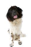Big black and white dog Royalty Free Stock Photo