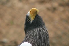 The big black and white eagle royalty free stock images