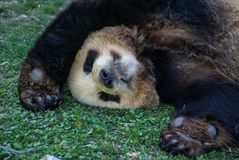 Big black-white panda bear sleeping with paws up give up. Image of big black-white panda bear sleeping with paws up give up royalty free stock image
