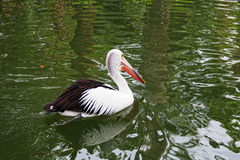 Big black-and-white pelican Stock Photo