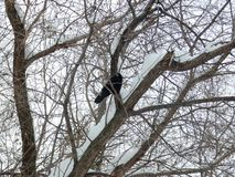 Big black wild crow among branches in the park royalty free stock photos