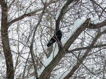 Big black wild crow among branches in the park stock photo