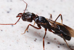 Big Black Winged Ant royalty free stock photos
