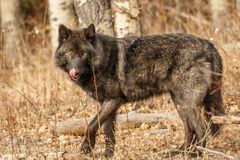 Big black wolf looking for food, Canada, Yamnuska sanctuary for wolf conservation, old wolf in forest. Big black wolf looking for food in Canadian sanctuary royalty free stock images