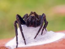 Big black wolf spider protecting her nest royalty free stock photo