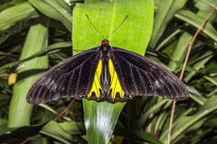 Big black and yellow butterfly Stock Photo