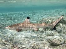 Big Blacktip reef shark. Full view of a blacktip shark in polynesian coral reef Stock Photo