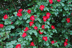 Big blooming bush of a red rose Royalty Free Stock Photos