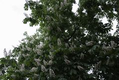 Big blooming chestnut. Many flowering branches. Nature Royalty Free Stock Photography