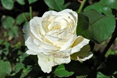 Big blooming cream-coloured rose flower Royalty Free Stock Images