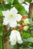 Big blooming of Easter Lily Vine flower. Or Beaumontia Grandiflora Royalty Free Stock Photo
