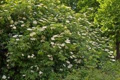 Big blooming elderberry bush royalty free stock image