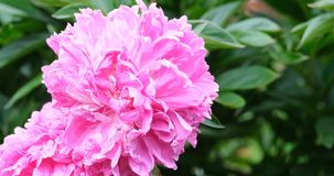 Big blooming pink peony. And green leaves close-up stock video footage