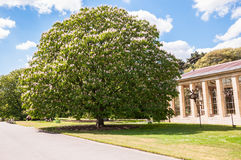 Big blooming tree Stock Images