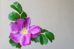 Big blossomed dog-rose flower Stock Images
