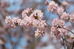 Big blossoming Oriental cherry Royalty Free Stock Photos
