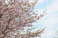 Big blossoming Oriental cherry Stock Photo
