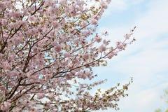 Big blossoming Oriental cherry Stock Photo
