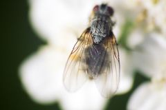Big blowfly on white flower as bride clothes. Big blowfly (nasty fly) on snow white flower as bride clothes. The concept of tainted innocence, to deflower stock photo