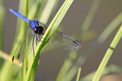 Big blue. Dragonfly clutching on to a blade of grass Stock Photos
