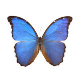 Big blue butterfly from the far east Stock Photo