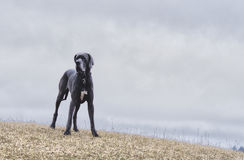 Big blue coated dog on a hill Stock Images