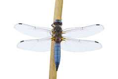 Big blue dragonfly Stock Images
