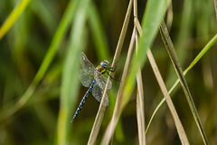 A big and blue dragonfly Royalty Free Stock Image