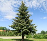 Big blue firs in the Park royalty free stock images