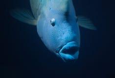 Big blue fish (napoleon wrasse) Royalty Free Stock Photography