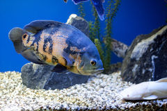 Big blue fish underwater. Aside royalty free stock photos