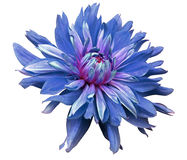 Free Big Blue Flower Opens On A White  Background Isolated  With Clipping Path. Closeup. Side View For Design. With Drops Of Water. Dah Royalty Free Stock Image - 82622576