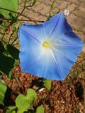 Big blue flower in the warm day stock image