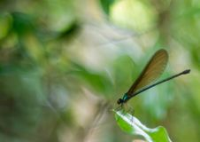 A big blue giant damselfly stock photography