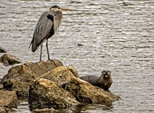 A Big Blue Heron stands over a River Otter along the rocks. Stock Images