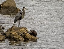 A Big Blue Heron stands over a River Otter along the rocks. Royalty Free Stock Photos