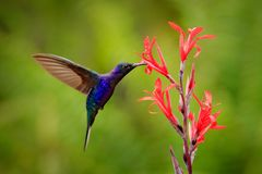 Big blue hummingbird Violet Sabrewing flying next to beautiful red flower with clear green forest nature in background. Tinny bird. Fly in jungle. Wildlife in stock photography
