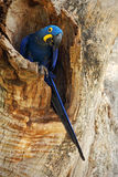 Big blue parrot Hyacinth Macaw, Anodorhynchus hyacinthinus, in tree nest cavity, Pantanal, Brazil, South America Royalty Free Stock Image