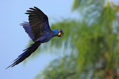 Big blue parrot Hyacinth Macaw, Anodorhynchus hyacinthinus, wild bird flying on the dark blue sky, action scene in the nature
