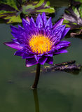 Big blue and purple water lily Royalty Free Stock Photos
