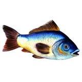 Big blue raw carp fish isolated, watercolor illustration on white. Big blue live raw carp fish isolated, watercolor illustration on white background stock illustration