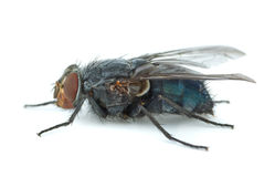 Big blue redhead fly (Calliphora vicina) Royalty Free Stock Image