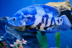 Big blue sea fish in aqurium. Underwater Stock Photos
