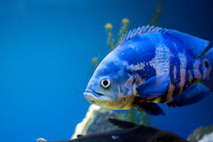 Big blue sea fish in aqurium. Underwater Royalty Free Stock Photos