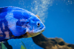 Big blue sea fish in aqurium. Underwater Stock Photography