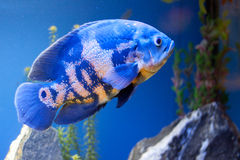 Big blue sea fish in aqurium. Underwater Royalty Free Stock Photo