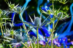 Big Blue Sea Holly Eryngium Thistles. Blue Thistle Eryngium gorgeous flower features long, branching stems that are topped with beehive-shaped centers and spiky stock photo