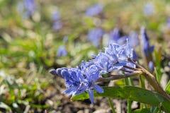 Big Blue Snowdrop y una abeja Fotografía de archivo