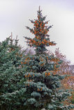 Big blue spruce. With cones against the sky Royalty Free Stock Images