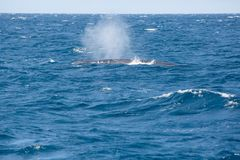 Big blue whale spouting water royalty free stock images